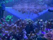 Pumpende Xenien Korallen Meerwasser