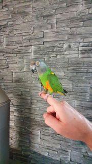 Papagei Graukopf handzahm inkl Käfig-Voilere