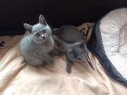 zwei BKH Kitten abgabebereit 2