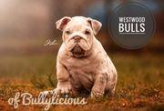 Englische Bulldoggen der Spitzenklasse