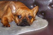 Französische Bulldogge Hündin