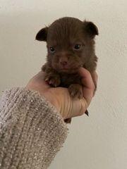 Reinrassige Chihuahua Babys suchen zuhause
