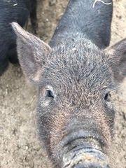 Wollschwein Läufer zu verkaufen