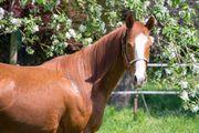 Quarter Horse Stute zu verkaufen