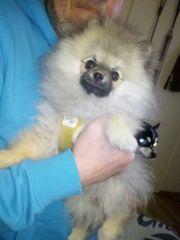 Super süßes Pomeranian Zwergspitz-Mädchen