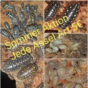 asseln cubaris porcellio armadillidium