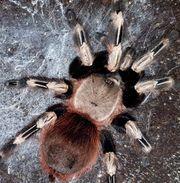 Vogelspinnen und Skorpione nhandu chromatus