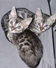 Die Bengal-Katze ist eine wirklich