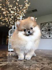 Pomeranian Zwergspitz Boo Teddy