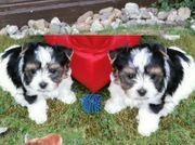 Biewer Yorkshire-Terrier süßes Baby