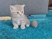 Britisch kurzhaar kitten Reserviert