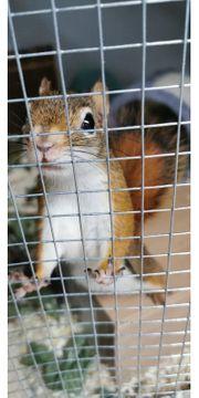 Eichhörnchen Canad Rothörnchen
