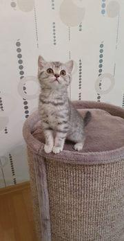 Bkh Kitten Scottish Fold Scottish
