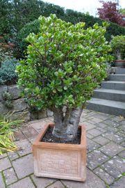 Geldbaum Bonsai