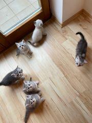 BKH Kitten 6 Wochen alt