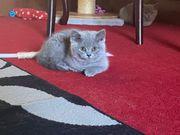 Voll britische Kätzchen mit kurzen