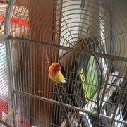Unzertrennlichen Vogel Pfirsich Köpfchen