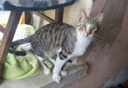 Ricky - junger Siam Mix Kater -