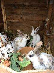 Kaninchen bunte Rexkaninchen