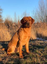 Labrador Deckrüde in dunklem foxred