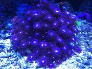 Meerwasser zoanthos Bäumchen und Schnecken