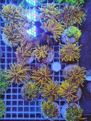 Korallen Ableger Montipora Acropora LPS