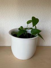 Pflanze - Efeutute inkl Übertopf