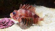 Meerwasser Zwergfeuerfisch 6-7cm