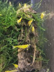 Yellow Fire Garnelen zu verkaufen