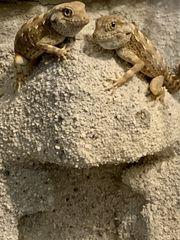 pristurus carteri Dhofar Skorpionschwanzgeckos 1