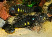 Tanganjika Gruppe Tropheus sp brichardi