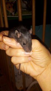 liebe Rattenbabys handzahm