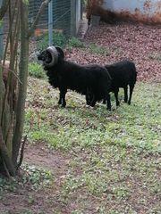 Französische Ouessant Schafe