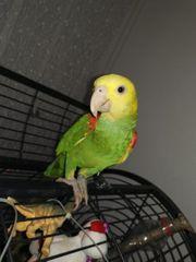 Doppelgelbkopfamazone Papagei