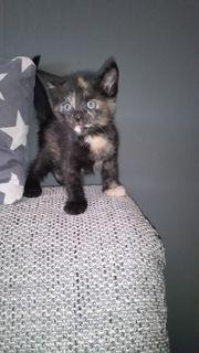Babykatzen Bengalmix