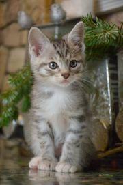 Kurilian Bobtail-Hausluchs-Kurilen Bobteil Kitten Junge