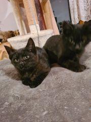 2 Siam-Mix Kitten