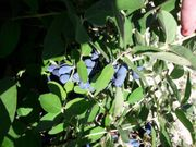 Maibeere - sibirische Blaubeere - blaue Honigbeere -