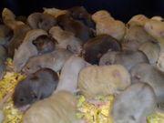 Exotische Ratten XXL-Auswahl