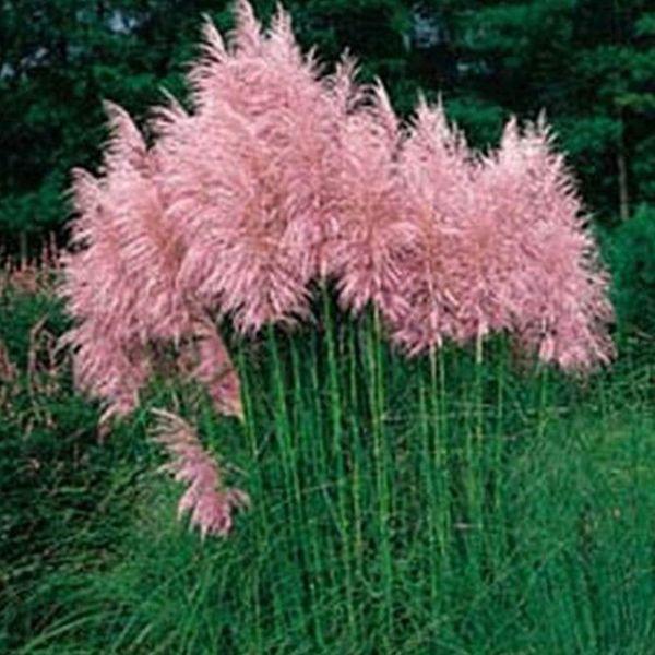 Pampasgrassamen blau lila oder rosa
