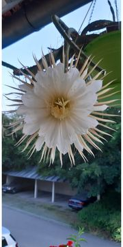 Kaktus Königin der Nacht