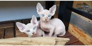 Canadian Sphynx Kater rot