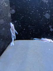 Snow white long fin
