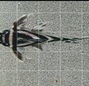 Hypancistrus zebra l46 30 pro