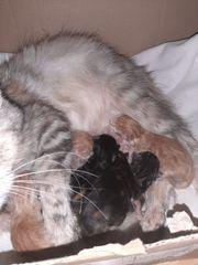 Frisch geborene Maine Coon Kitten