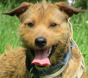 AKIM Border Terrier Mischling - sehr