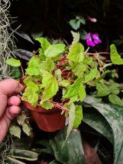 Begonia Papaya tropische Begonie für