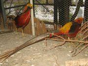 Goldfasan schwarz Paar - Hahn Henne -