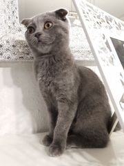 Scottish fold kitten weibchen bkh