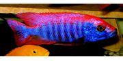 Sciaenochromis-purplered fryeri ahli
